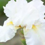 midhurst white